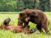Grizzly bears (Ursus arctos horribilis) flight and playing, Khutzeymateen Grizzly Bear Sanctuary, Northern BC, Canada