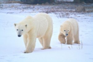 polarbearpresentationimage